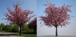 prunus comparison copyright Laubwerk GmbH 2012